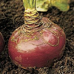Swede/Rutabaga Virtue