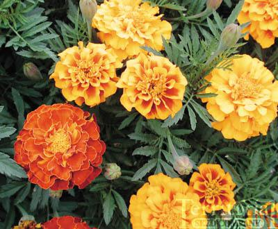 A Fall of Marigolds by Susan Meissner Reading Guide-Book ...