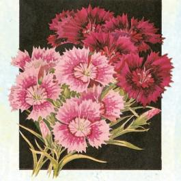 Sweet William, Tall Single Mixed - Dianthus