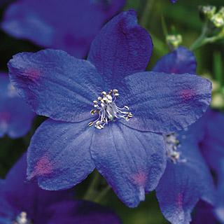 Delphinium Diamonds Blue