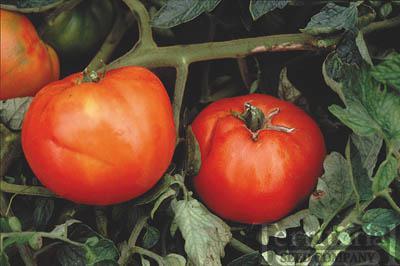 Peron Sprayless Tomato Conventional & Organic