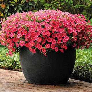 Shock Wave® Coral Crush Petunia Annual Plant