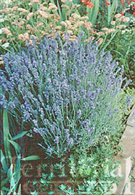Lavender-Lady