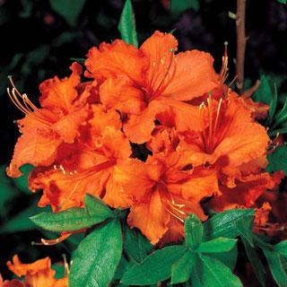 Gibraltar Rhododendron Shrub