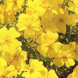 Marigold tenuifolia 'Lemon Gem'