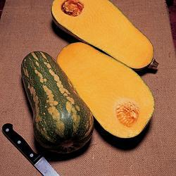 Winter Squash Barbara Butternut F1 Hybrid