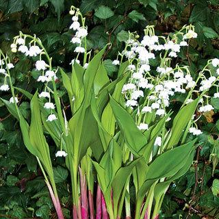 Bordeaux Convallaria White Lily of the Valley Bulbs - Pack of 3