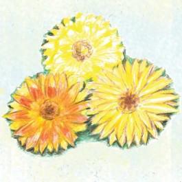 Pacific Beauty Mix - Calendula
