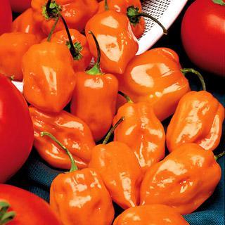 Pepper Habanero Organic