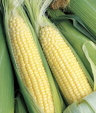 Corn, Breeders Choice  Hybrid