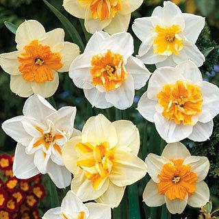 Mixed Papillon Daffodil Bulb - Pack of 5