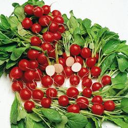 Radish Cherry Belle (Globe)