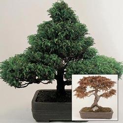 Bonsai Trees Mixed