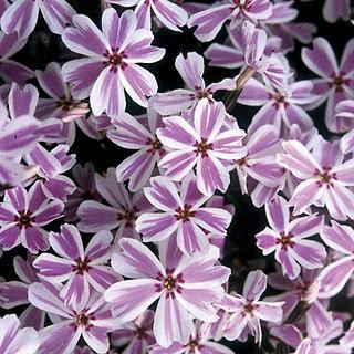 Candy Stripe Phlox subulata Creeping Phlox Plant