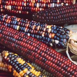 Rainbow Indian Ornamental Corn