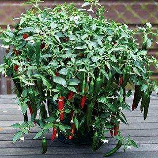 Pepper Cayennetta