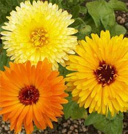 Calendula officinalis - Pot Marigold Bulk Seed - 1 pound