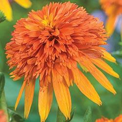 Coneflower Marmalade