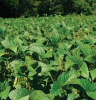 Soybeans (Viking 2265) (OG)