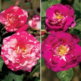 2013 Rose and Floribunda of the Year Collection
