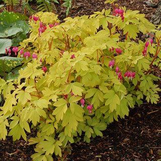 Gold Heart Dicentra spectabilis Bleeding Heart Plant