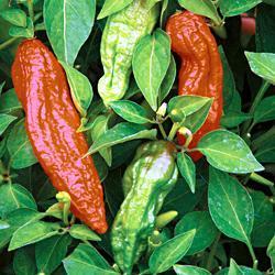 Chili Pepper Naga Jolokia Chocolate