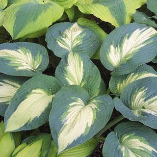 Hudson Bay Hosta Plant