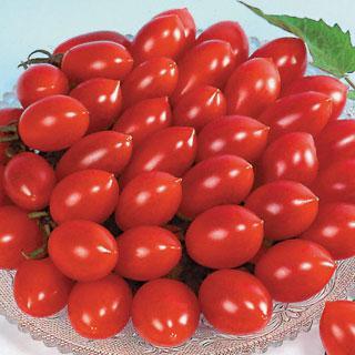 Sugary Tomato Plant