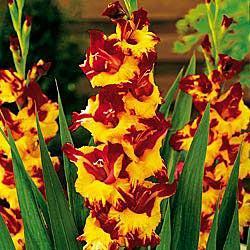Firelight Gladiolus