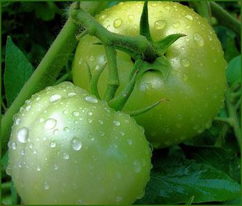 Tomato, Aunt Ruby's German Green