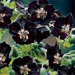 Reblooming Hardy Geranium Springtime