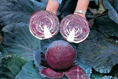 Primero Cabbage