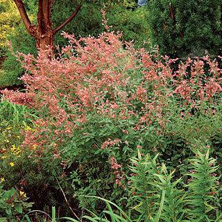 Coronado® Agastache Hummingbird Mint Plant