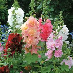 Hollyhock rosea annua 'Spring Celebrities Mixed'