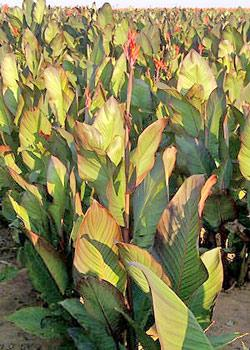 Musifolia Tall Canna - 5 root divisions