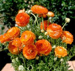 Sunset Tecolote® Ranunculus - 10 bulbs