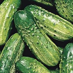 SMR-58 Cucumber