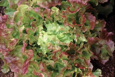 Blushed Icy Oak Lettuce Organic