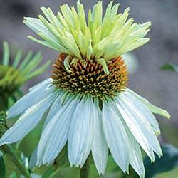 Coneflower Mount Hood