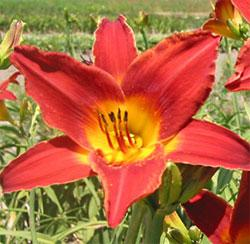 Clymer's Pride Daylily - 5 root divisions
