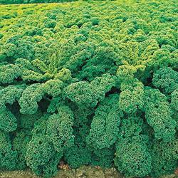 Winterbor Hybrid Kale Greens