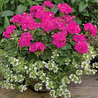 Calliope® Lavender Rose Geranium Plants