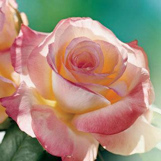 Rose Lady Bird Hybrid Tea Reviews