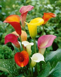 Mixed Callafornia Calla® Calla Lily - 6 tubers