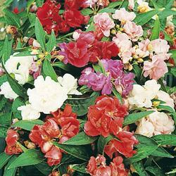 Impatiens balsamina 'Extra Dwarf Tom Thumb Mixed'