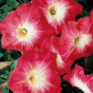 Petunia Celebrity Red Morn Hybrid
