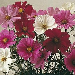 Cosmos b 'Sensation Mixed'