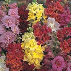 Antirrhinum 'Double Madame Butterfly Mixed' F1 Hybrid