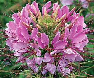 Spider Flower Sparkler Lavender Hybrid
