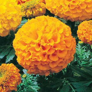 Marigold Antigua Gold Hybrid